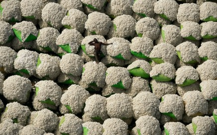 Cotton Balls in Thonakaha, Korhogo region, Côte D'Ivoire